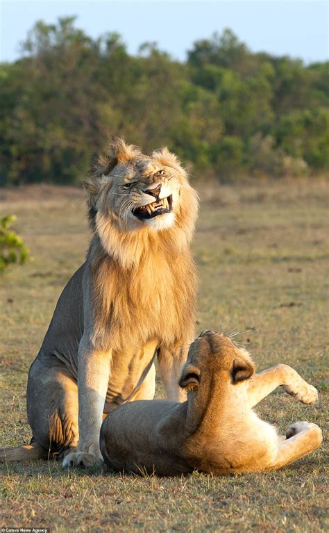 Funny Pictures Of Lion Looking Proud And Passionate As He