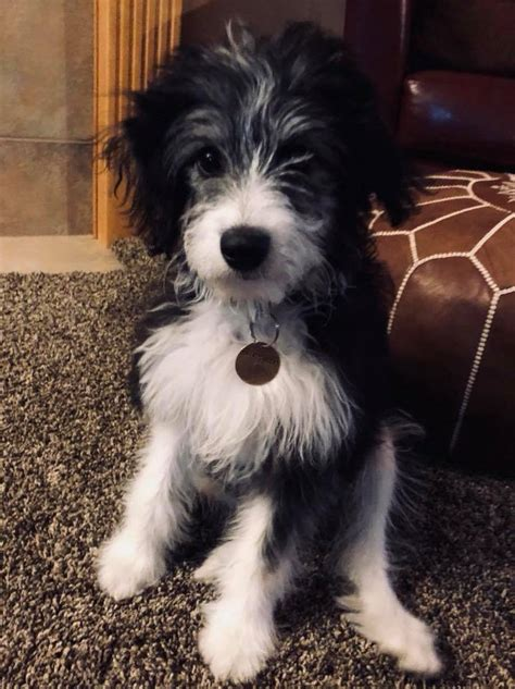 Aussiedoodle Puppies – HOPE HILL DOODLES