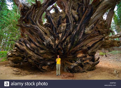 Woman standing in front of the huge roots of a Giant