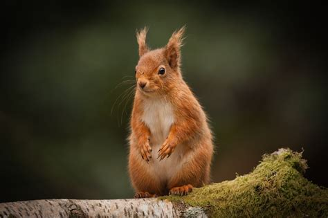 Species of the month for September - the red squirrelFair