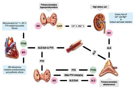 Figure 3 from Aldosterone and parathyroid hormone