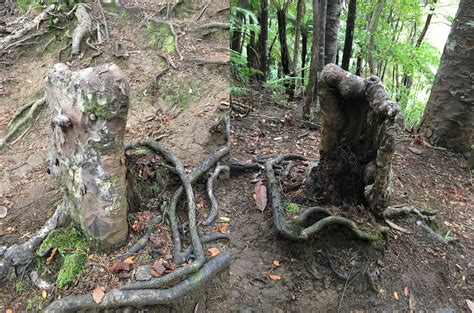 Living Tree Stump That Survives by Feasting From Its