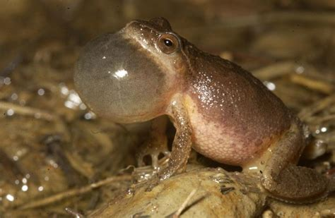 Frog Music | Missouri Department of Conservation