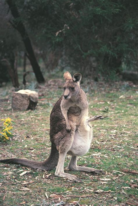 What is a marsupial? - The Australian Museum